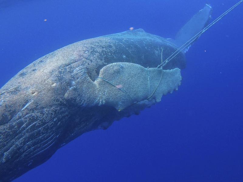 Young Humpback Whale Freed Off Coast Of Maui