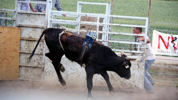 """Bulls are judged with a """"dummy"""" weight for four seconds to see how hard they will jump and twist to buck a rider. Bulls that do well can sell for up to $50,000."""