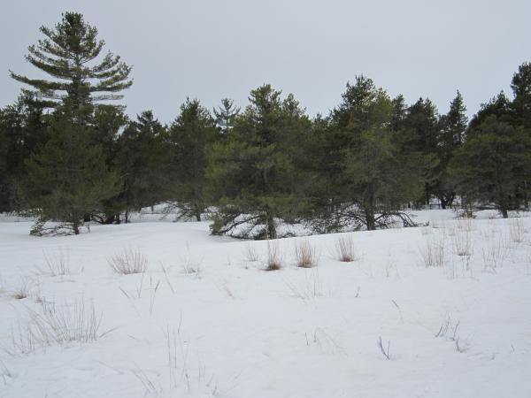 Hardy jack pines are one of those rare species that can live in sandy soil conditions created from erosion of the glacial dunes.