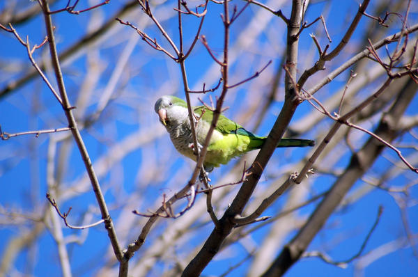 """Monk Parakeets get their name from the distinctive cowl over their heads. They're also known as """"Quaker Parrots."""""""