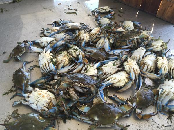 Louisiana Blue Crabs.