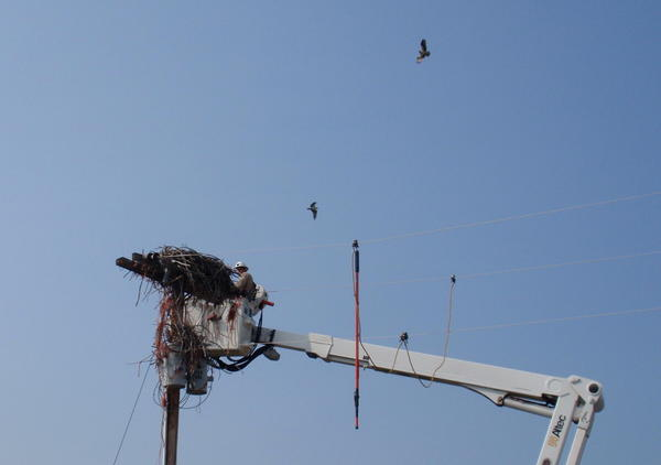 The alarmed osprey parents circled the whole time, but did not act aggressively toward the good Samaritans.