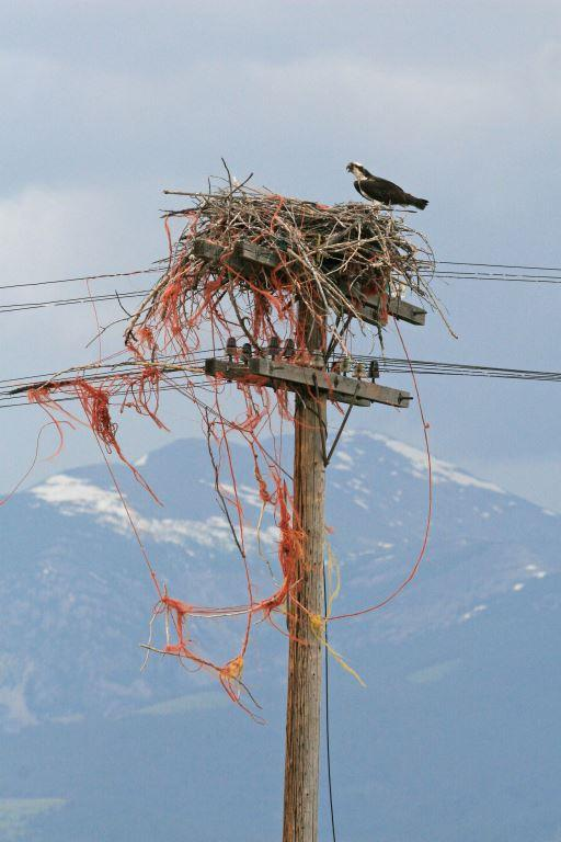 Another osprey nest awaiting cleanup in the Missoula area.