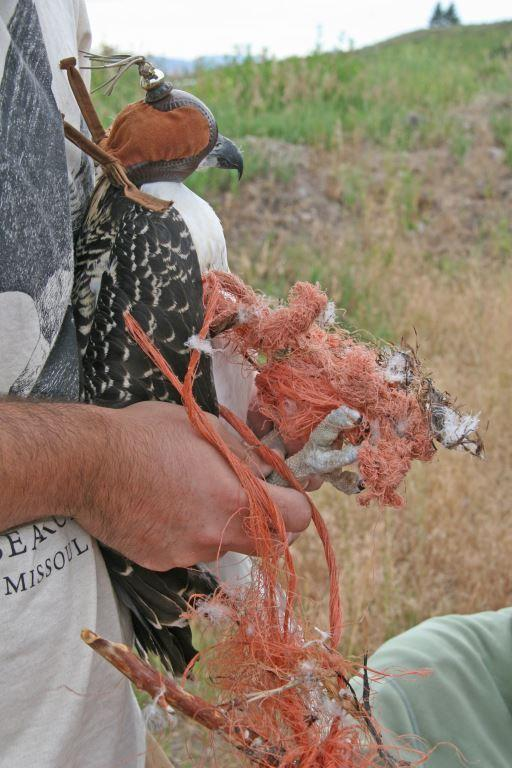 This large osprey chick was entangled in tough polypro twine before it was rescued last month.