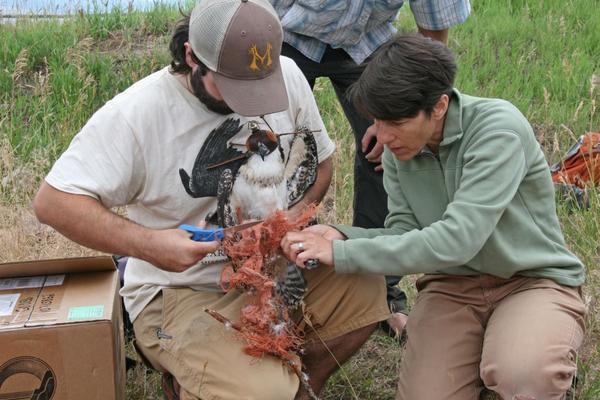 Montana Osprey Project disentangles an osprey chick last month near Missoula.