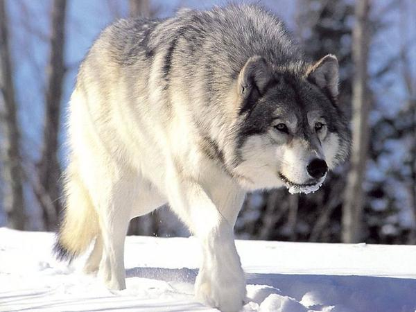 Federal wildlife agents killed 31 wolves in Idaho in 2014.