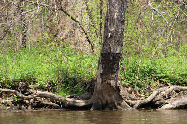 Some trees along the banks of the Kalamazoo River bear oil stains left behind from the spill.