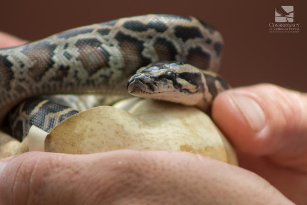 A Burmese python hatchling at the Conservancy of Southwest Florida earlier this month.