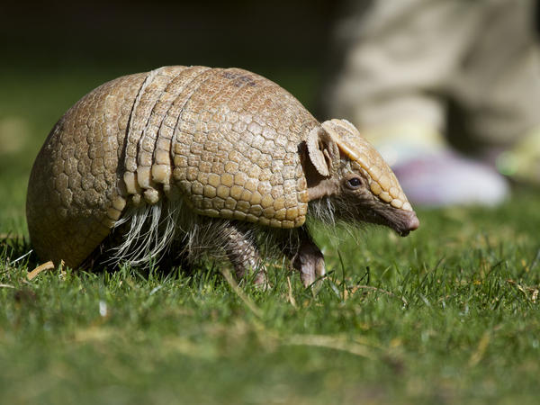 Armadillos are the only mammals -- other than humans -- that can carry leprosy. Nine cases of leprosy were reported in Florida this year.