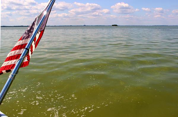 Western Lake Erie turns green from cyanobacteria blooms.