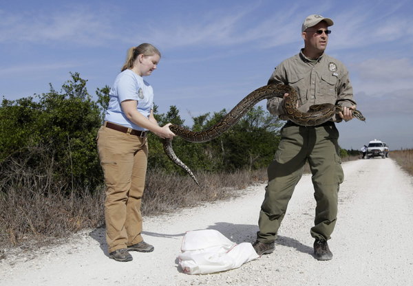 For the last five years, wildlife authorities from multiple agencies have raced to keep the northern African python, also known as the rock python, from spreading beyond a small colony in western Miami-Dade County