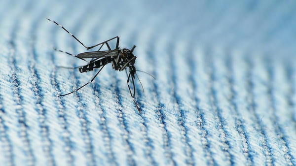 The Asian Tiger Mosquito is a carrier of Zika virus