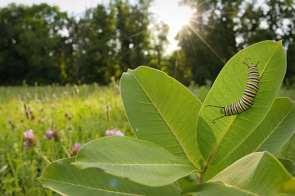 Monarch caterpillars feed exclusively on milkweed.
