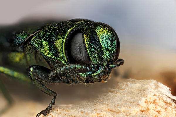 Emerald ash borers have been a scourge for ash trees across the U.S., but only recently arrived in Texas.
