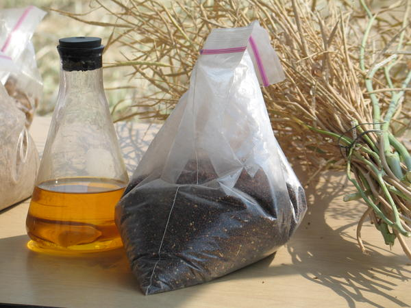 Canola's low pour point and high oil content make it an ideal candidate for biodiesel. One kilogram of canola seeds, center, produces the amount of oil in the flask on the left.