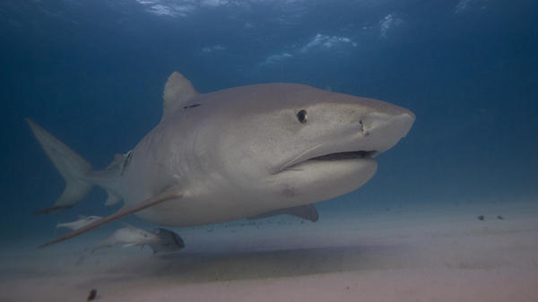 "Marine ecologist Neil Hammerschlag says he can sometimes identify sharks like Emma (pictured) by the way they move. ""It's pretty cool to be able to jump in the water and say, 'Hey look, there's Emma the tiger shark!' """