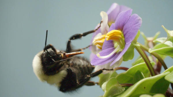 A bumblebee grooms her fur — and her tongue — to get at the pollen grains she vibrated free from the anthers.