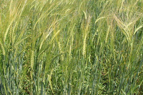 Decades after falling from popularity, Spartan barley returns with the help of MSU researchers.