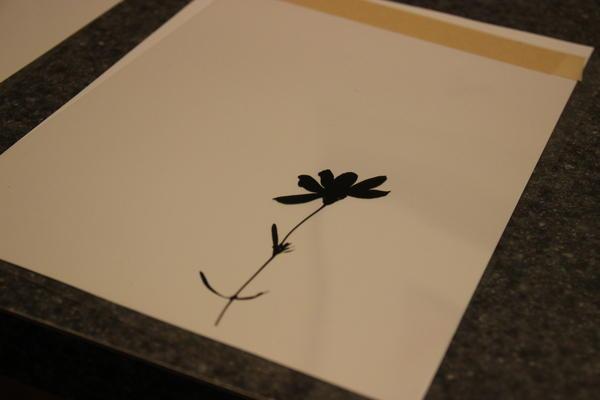 Kramer's shadow image of prairie coreopsis.