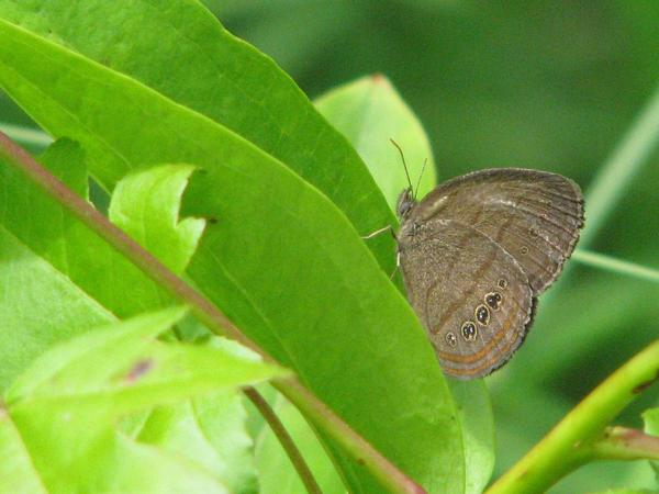 One of the more unusual benefactors of the ecological collaborations is a delicate, thumbnail-sized butterfly called the St. Francis' satyr that now is found only on Fort Bragg.