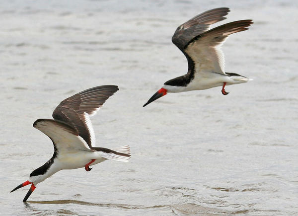 46 Juvenile Seabirds Found Dead On Gulf Coast Beaches