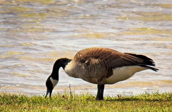 Some birds, like Canada geese, are already changing their behavior in response to climate change.