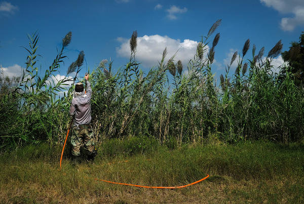 Dillon Hendrickson sprays herbicide on a stand of invasive Arundo donax, known as giant reed, plants on Lady Bird Lake in Austin.