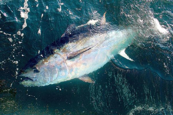 Atlantic bluefin tuna.