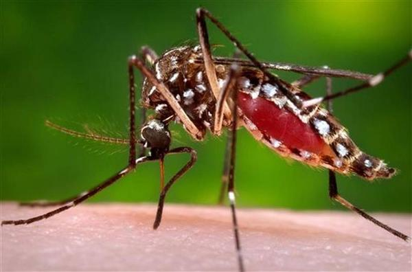 The Aedes aegypti mosquito is one species that carries the Zika virus.