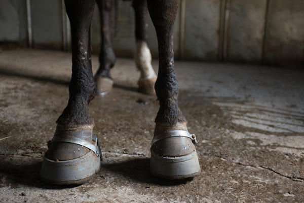 """This photo by the Humane Society of the United States shows a rescued horse still wearing the weighted """"stacks"""" and with soring scars on its front legs."""