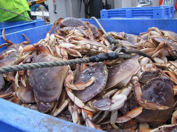Dungeness crab is unloaded at the Quinault docks in Westport, Wash. About one-fifth of the tribe makes their living in the fishing industry. They're worried about how oil shipping could affect the environment — and their way of life.<em> </em>