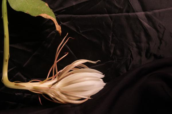 Orchid cacti, like this one housed at a library in Illinois, bloom just once a year.