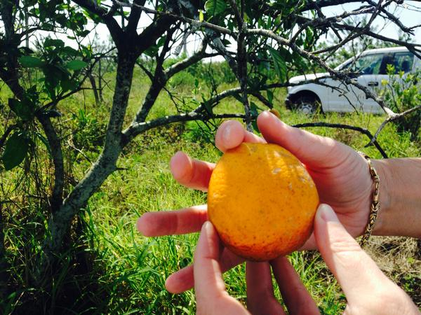 The Florida Department of Agriculture's Callie Walker holds an orange infected with citrus greening on an abandoned grove in Hendry County. The oblong shape is one symptom of the disease.