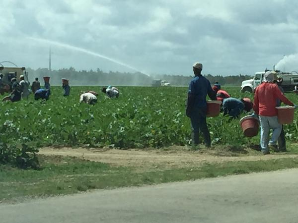 Migrant workers picking zucchini in a field near Florida City in south Miami-Dade County.