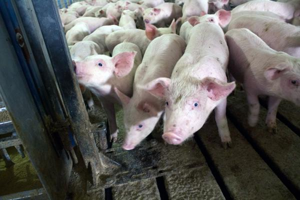 Pigs at a hog barn near Odelbolt, Iowa, sometimes receive antibiotics in their feed.