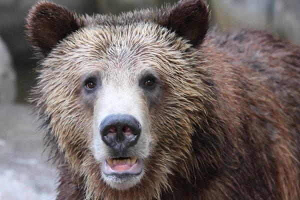The U.S. Fish and Wildlife Service plans to turn over grizzly bear management to Montana, Idaho and Wyoming by late July. The states plan to allow limited bear hunts outside park boundaries.