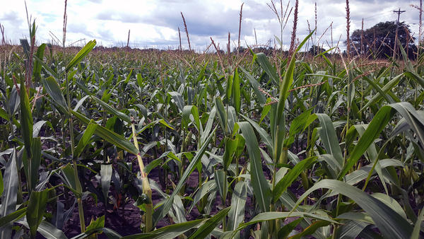 Farmers complained when China rejected shipments of U.S. corn after finding unapproved varieties.