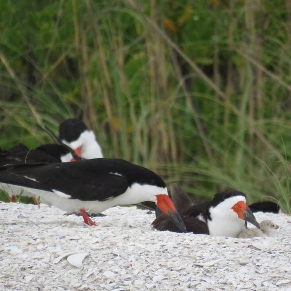 Black Skimmer family on Sand Dollar Island in Marco, with chick