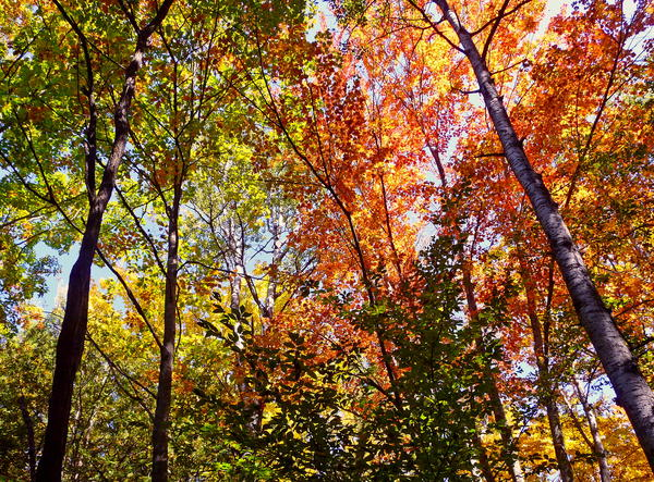 Hardwood trees, like these here in Lake Ann Village, may migrate to northern Michigan.