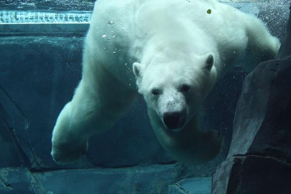 Kali, a polar bear, swims at the Saint Louis Zoo.
