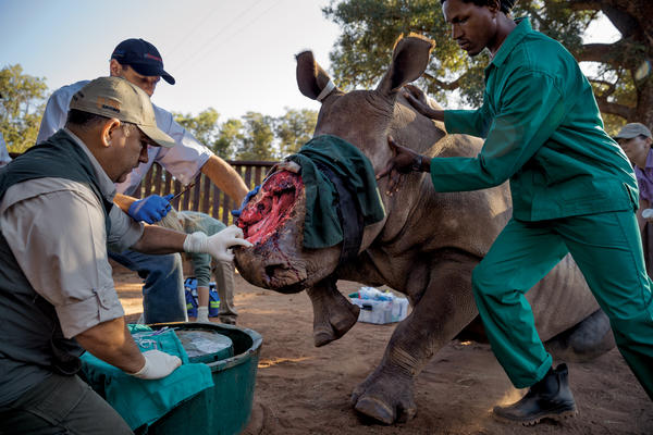 "Veterinarian Johan Marais prepares to try out a novel treatment — rubber bands used in human surgery — to close a gaping hole in this female rhino's face made in May 2015 by poachers hacking out her horn. Marais says that Hope — seen here a year later — will survive the attack. ""She's done extremely well,"" he says. ""She's got this inherent feistiness.""'"