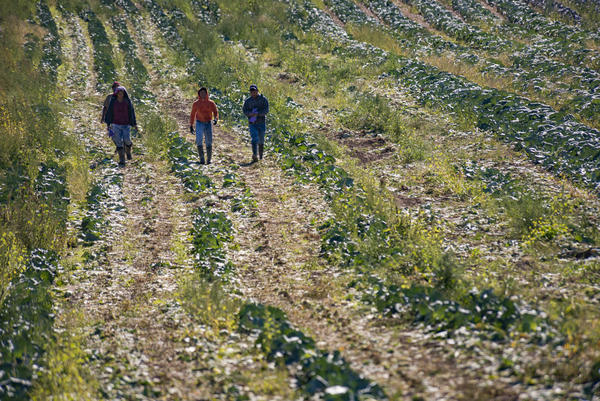 The Root Brothers Farm in Albion is one among many that rely on the H2-A migrant worker visa for their labor force. Here, after finishing their work on the cabbage field, migrant workers at the farm walk back to the bus to begin work on the next crop.