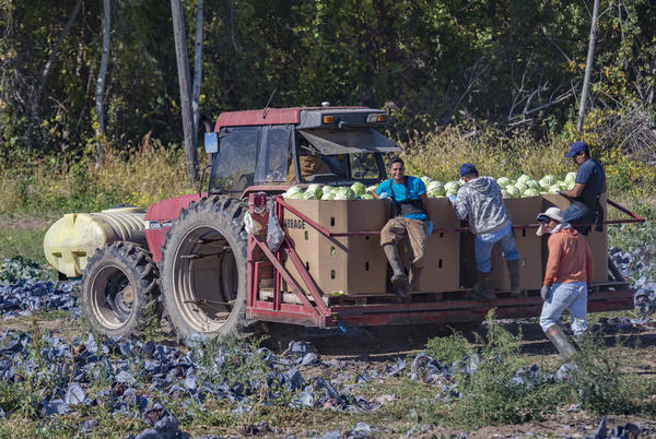 "Mexican migrant workers ride the tractor after harvesting cabbages at Root Brothers Farm. ""We hire someone on a farm from another country who knows what the work is like, and just does it,"" said Robin Root, the co-owner of the farm."