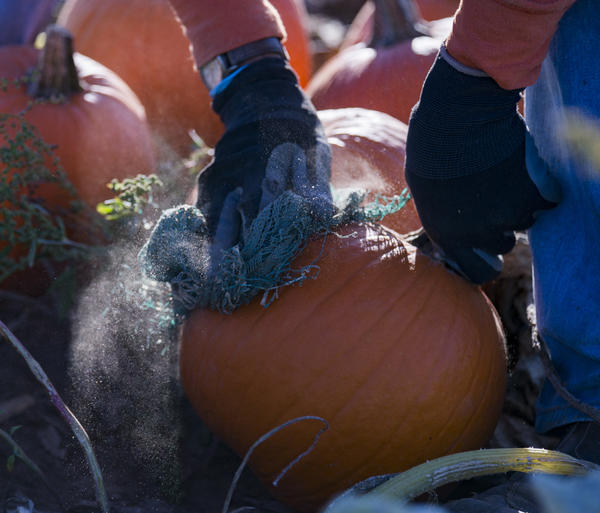 Rene Omar Montes brushes the dirt off pumpkins that will soon be harvested at Root Brothers Farm in Albion.