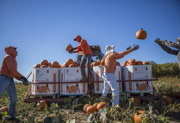 Migrant workers toss pumpkins to one another while harvesting at Root Brothers Farm in Albion. Most workers will return to the farm each year to continue work; some have returned for years.