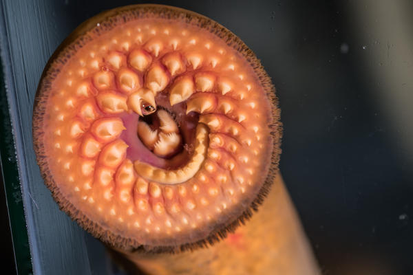 MSU researchers have been testing a novel sea lamprey control system near Hammond Bay, MI.