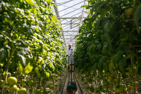 Fluid-fed organic tomatoes grow in a greenhouse owned by Wholesum Harvest in the Mexican state of Sonora, about 30 miles from the U.S. border.