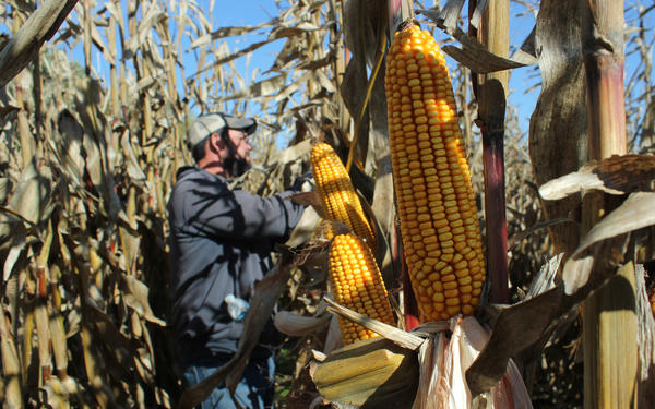 """Eric Thalken works down a row of organic corn, pulling back the husks. """"There's a mindset that organic is ugly and low yielding and it just doesn't have to be,"""" Thalken says."""