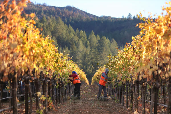Charred hills are visible behind field workers  as they pick Syrah grapes during a harvest operation on October 25, 2017 in Kenwood, California.