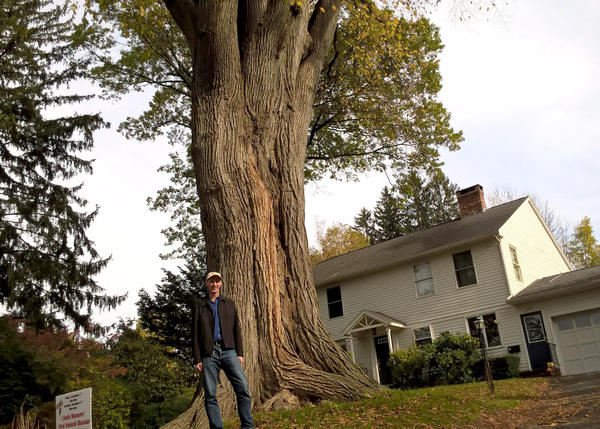 Forest ecologist Christian Marks is dwarfed by one of the oldest elm trees in Massachusetts.